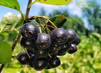 Aronija - plodovi na plantazi