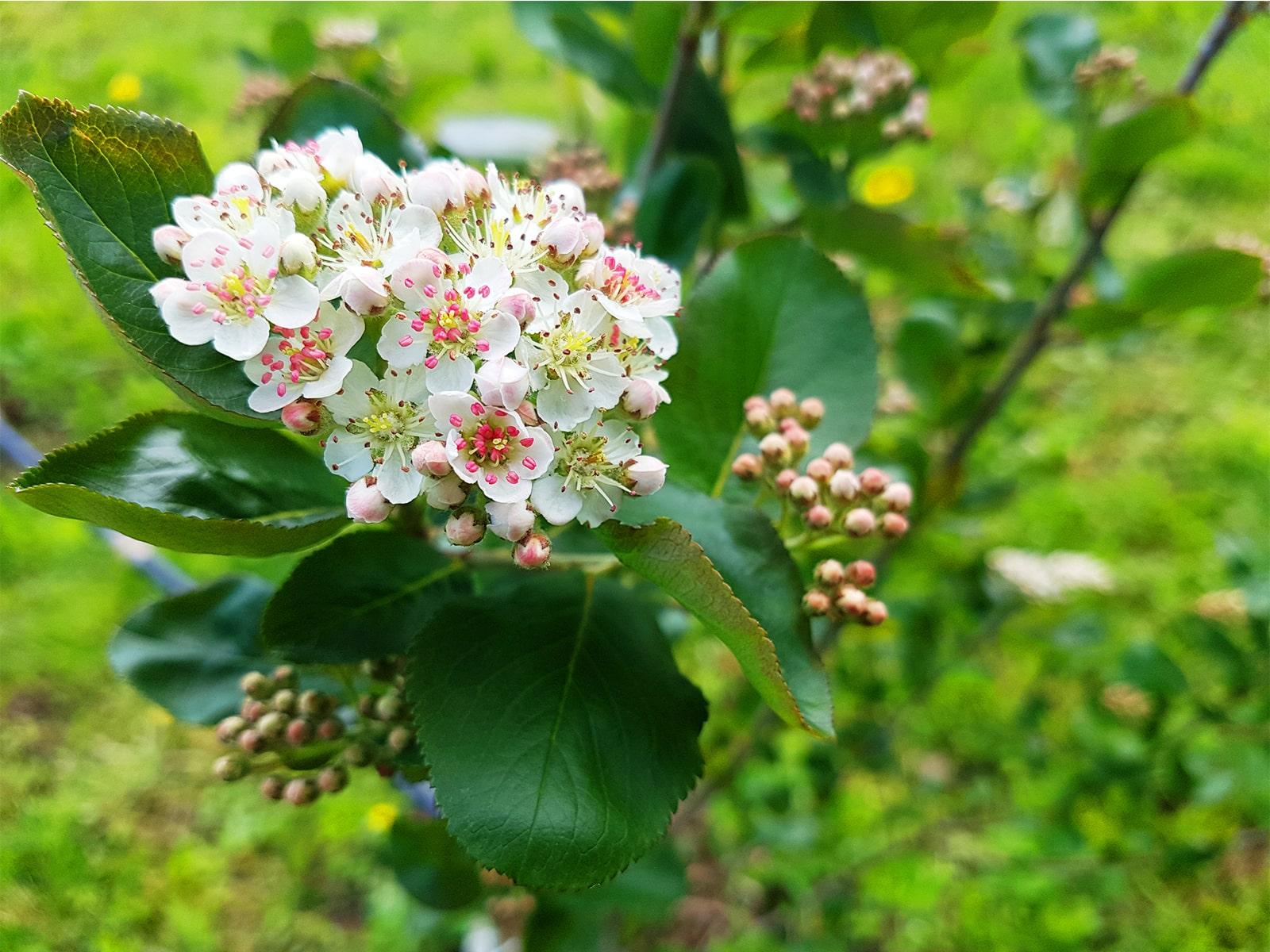 Cvijet aronije-min