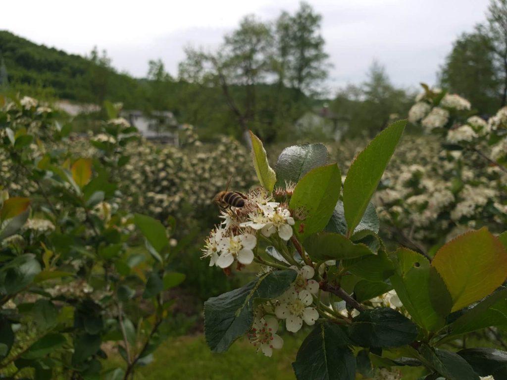 Pčela na aroniji, Zvjezdana plantaža